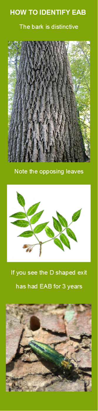 Ash Tree's 7  opposing leaves