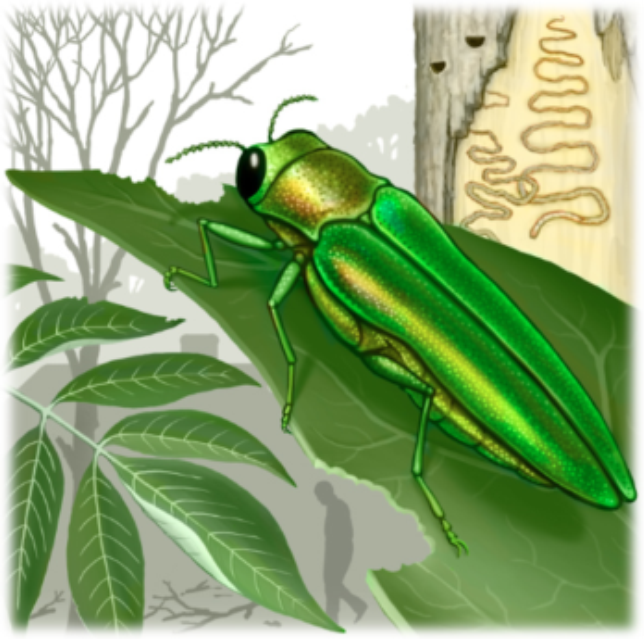 The Emerald Ash Borer treatment treats emerald ash borer beetle