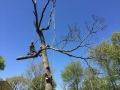 Trew-with-Dead-Oak-limb