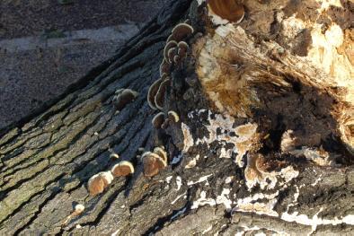 hazardous tree evaluation shoes decay