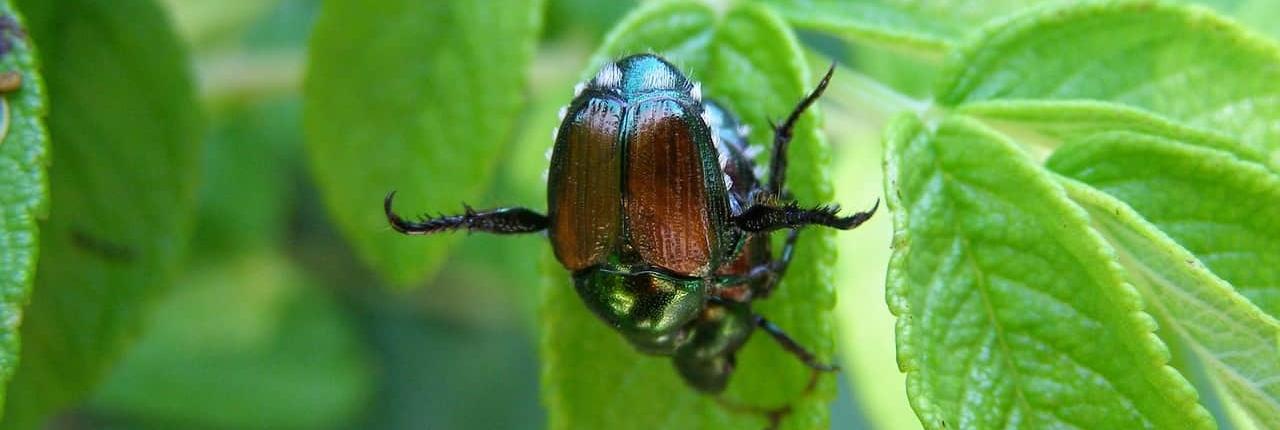 Japanese Beetle Control - Hendrickson Tree Care Kansas City, MO